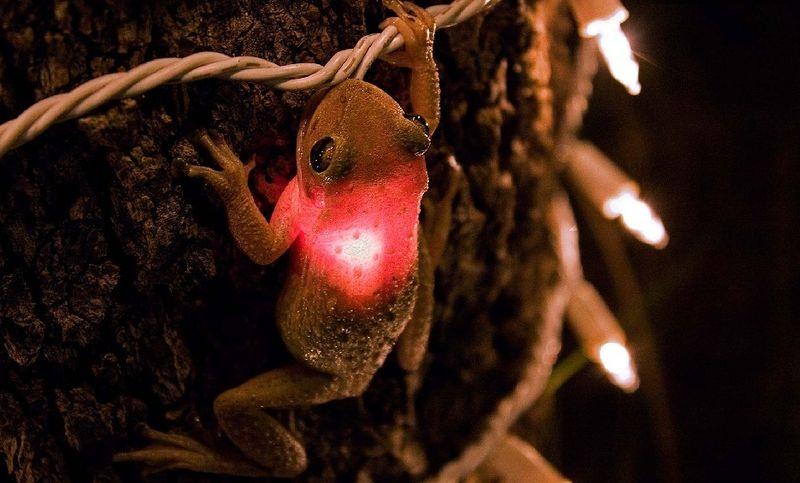 Tree_frog_eats_bulb