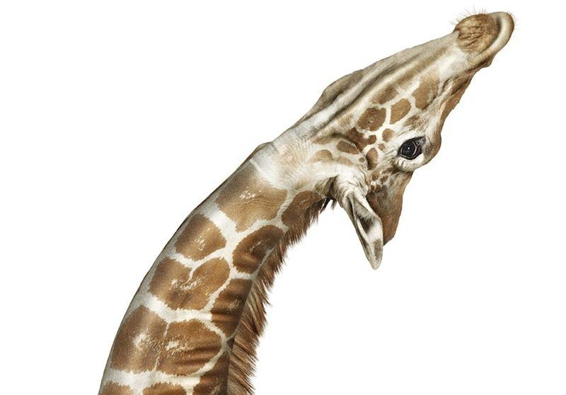 Giraffe_Andrew_Zuckerman